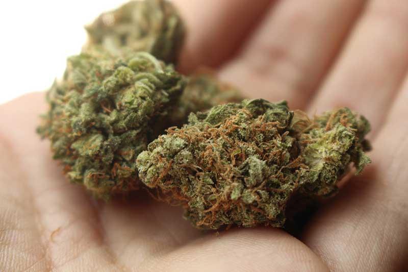 emilia romagna - polemiche sulla cannabis ad uso medico